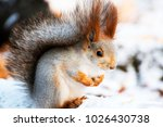 Fox Squirrel Looks Thoughtfull...