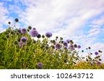 Great Globe Thistle Against...