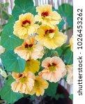 Nasturtium Plant With Yellow...
