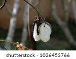 Small photo of cotton, Gossypium spp., Malvaceae, Malvales