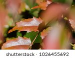 autumn leaves of mahonia...   Shutterstock . vector #1026455692