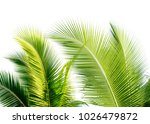 green cocount leaf of  palm...   Shutterstock . vector #1026479872