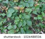 green leaf texture. leaf