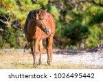 wild pony  equus caballus  at... | Shutterstock . vector #1026495442