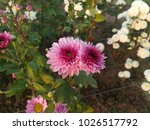yellow  chrysanthemum ... | Shutterstock . vector #1026517792