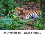 close up shot of bengal tiger... | Shutterstock . vector #1026578812