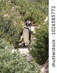 Small photo of South African penguin