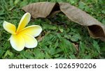 Small photo of Plumeria alba, plantae kingdom
