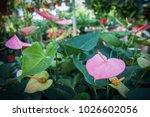 beautiful pink flower in a...   Shutterstock . vector #1026602056