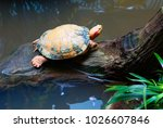 Red Eared Freshwater Turtle....