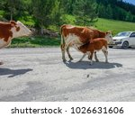 cows standing on the road and... | Shutterstock . vector #1026631606