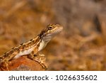 fan throated lizard  sitana... | Shutterstock . vector #1026635602