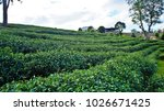 tea plantation in chiang rai ... | Shutterstock . vector #1026671425
