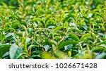 tea plantation in chiang rai ... | Shutterstock . vector #1026671428