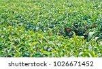 tea plantation in chiang rai ... | Shutterstock . vector #1026671452