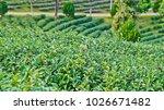 tea plantation in chiang rai ... | Shutterstock . vector #1026671482