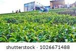 tea plantation in chiang rai ... | Shutterstock . vector #1026671488
