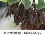 Ceratonia Siliqua  Commonly...
