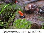 blue jeans dart frog  poison... | Shutterstock . vector #1026710116