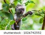 zanzibar red colobus monkey.... | Shutterstock . vector #1026742552
