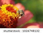 Small photo of Macro view of the fluffy Caucasian striped small and white-gray bee Amegilla albigena with wings collecting nectar on the yellow inflorescence of the orange-pink flower Zinnia in summer