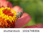Small photo of Macro of the fluffy Caucasian striped small and white-gray bee Amegilla albigena with wings collecting nectar on the yellow inflorescence of the orange-pink Zinnia flower in summer