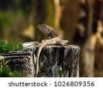 chameleon in thailand | Shutterstock . vector #1026809356