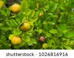 orange mandarin on the tree....   Shutterstock . vector #1026816916