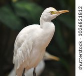 the eastern great egret  ardea...   Shutterstock . vector #1026821812