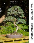 Small photo of An informal upright Juniper with Squamata type foliage on display in late winter sunshine in a garden in Northern Ireland