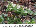 first spring flowers backlit... | Shutterstock . vector #1026834988