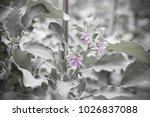 vintage purple flower in nature ... | Shutterstock . vector #1026837088