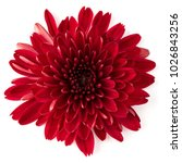 red chrysanthemum flower... | Shutterstock . vector #1026843256