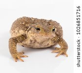 common toad or european toad ... | Shutterstock . vector #1026851716