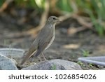 nightingale bird close up | Shutterstock . vector #1026854026