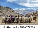 Nomadic woman with their sheep at Lake Tsomoriri, Ladakh, India.