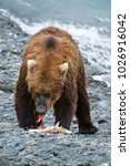 Small photo of American Brown bear/Grizzly bear (Ursus arctos horribilis), McNeil River Sanctuary, Alaska