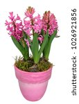 hyacinth full of pink flowers ... | Shutterstock . vector #1026921856