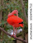 a tagged scarlet ibis ... | Shutterstock . vector #1026936712