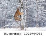 siberian tiger  panthera tigris ... | Shutterstock . vector #1026944086