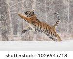 siberian tiger  panthera tigris ... | Shutterstock . vector #1026945718