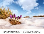 Group Of Crocus Flower In Gras...
