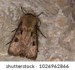 Small photo of Macro photography of a butterfly (Agrotis exclamationis)