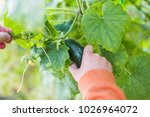 farmer collects the last crop... | Shutterstock . vector #1026964072