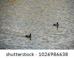 Two American Coots On Lake