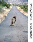 Male lion walking away on an asphalt road in Pilanesberg National Park, South Africa