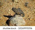 sunbathing namaqua chameleon on ... | Shutterstock . vector #1026995356