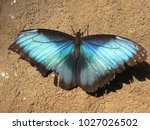 Blue Morpho Butterfly With...