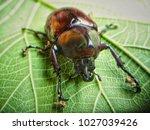 xylotrupes gideon  siamese... | Shutterstock . vector #1027039426