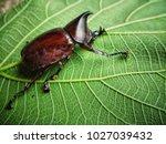 xylotrupes gideon  siamese... | Shutterstock . vector #1027039432